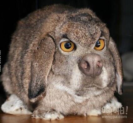 愤怒的兔子