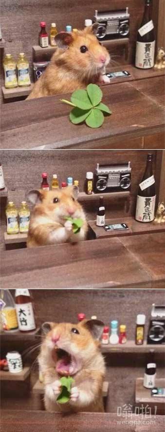推主发现了一朵五叶草,把它摘了给家里的小仓鼠看,小仓鼠又把它放到嘴里去了,不过好像太苦了