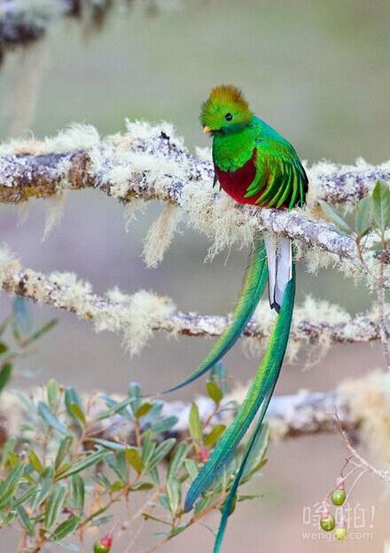 危地马拉的国鸟凤尾绿咬鹃