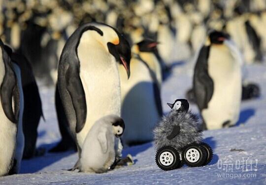 """远程控制的""""小企鹅""""帮助科学家研究害羞南极鸟类,如此真实,成年帝企鹅已经发现它并对它""""说话"""""""