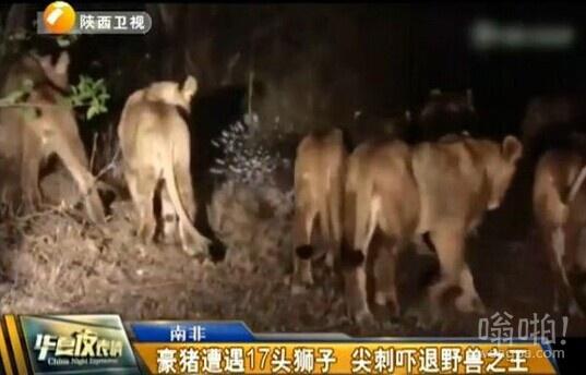 """豪猪""""单挑""""17头猛狮视频勇夺新""""丛林之王""""宝座"""