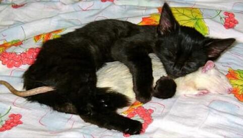 猫爱上老鼠…