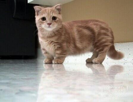 一个芒奇金猫。半腿的大小,很可爱