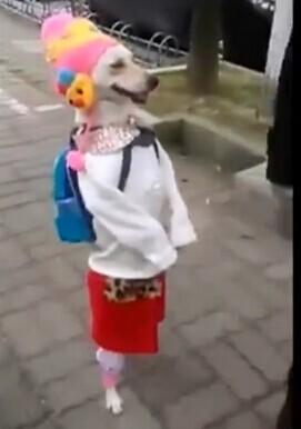 """【视频】""""淑女狗""""直立行走 背包穿衣""""人模狗样"""""""