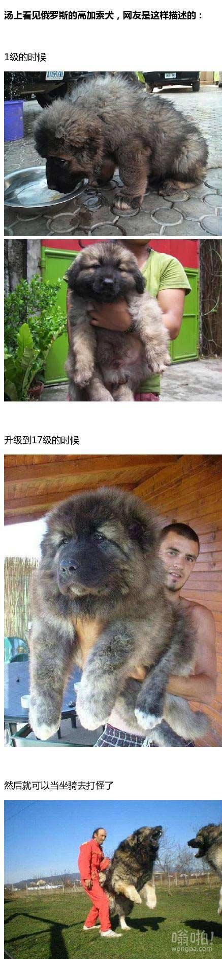 俄罗斯的高加索犬,世界上最大的犬种之一