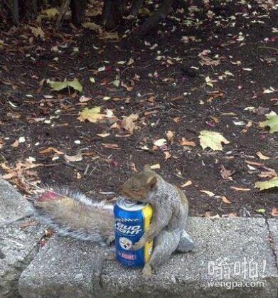 蠢萌蠢萌的松鼠找到了食物,但是搬不动,正在伤心呢。。