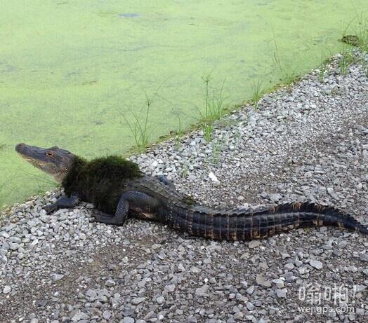 鳄鱼冬天穿皮草很任性