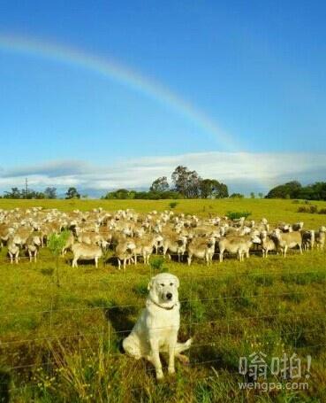 这家伙一直在看它的羊,每天都是
