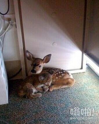 这小鹿和山猫一起发现在办公室,森林火灾后,它们在桌下相互依偎