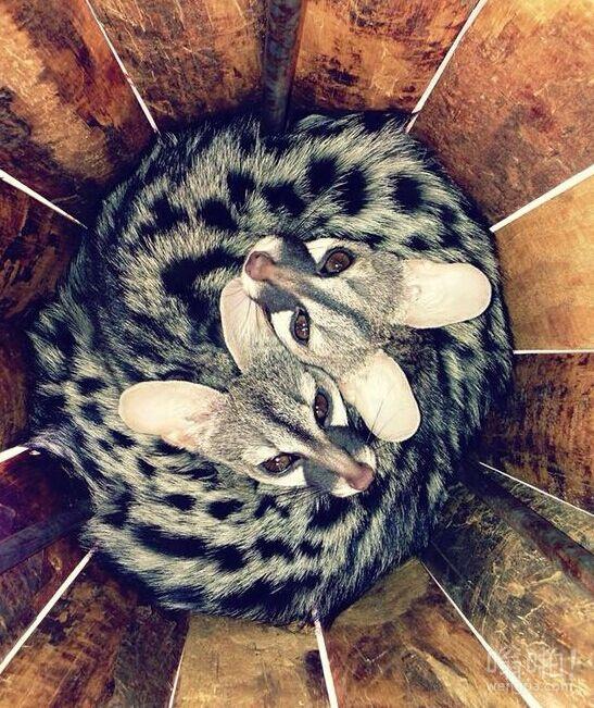 我姐姐有奇怪的宠物。他们被称为麝猫。