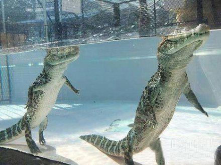 原来鳄鱼是这么游泳的
