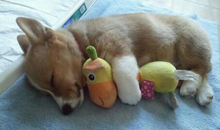 柯基犬小狗与密友睡午觉