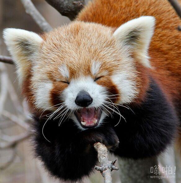 红色熊猫卖萌