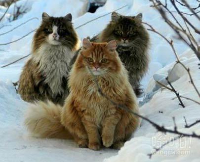 挪威野生猫科动物