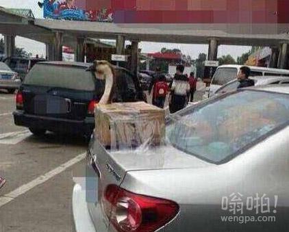 春节带年货回家,车主你上高速的时候考虑过那只鹅的感受吗