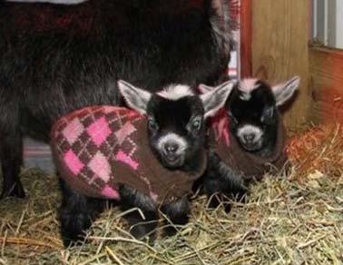 婴儿山羊….羊毛衫…
