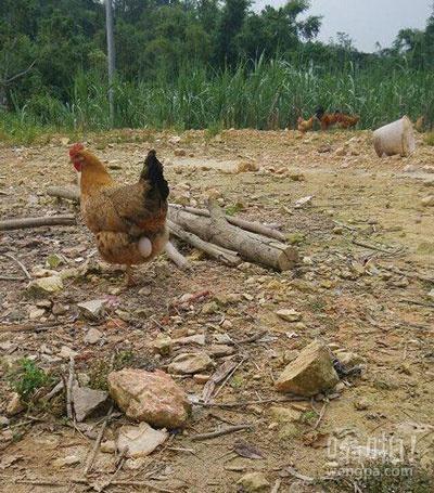 母鸡下蛋难产,且走且留意啊