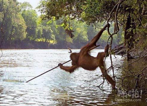 婆罗洲野生动物园猩猩观看当地渔民打猎后