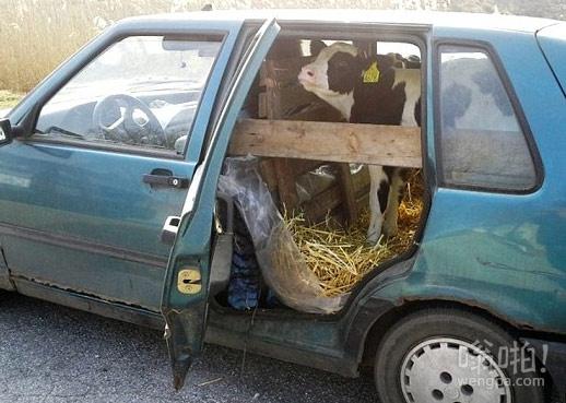 农民开他的菲亚特校车带小牛去看兽医,被交警抓了