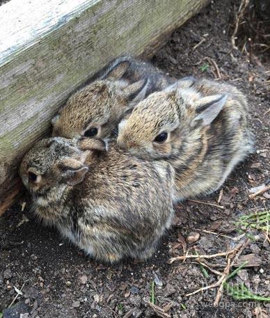 发现在花园里的宝宝兔子!