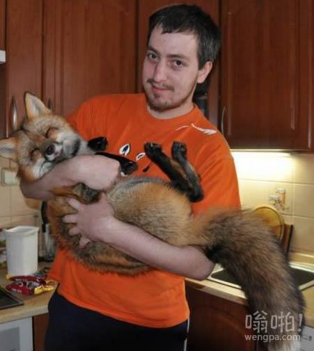 宠物狐狸。我想要一个!
