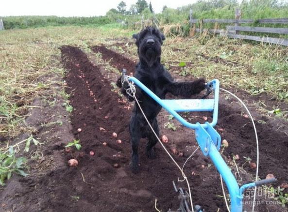 这是狗和我的农场土豆 有用的狗狗