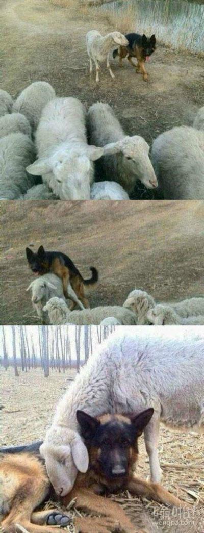 羊和狗亲密照片曝光