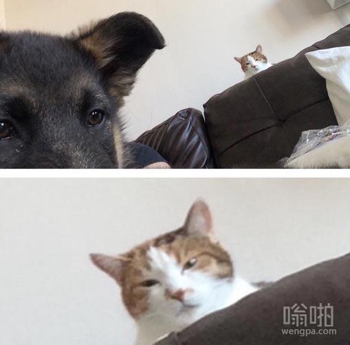 朋友刚刚得到了一个德国牧羊犬幼犬,她的猫眼神有点不对
