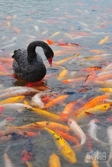 黑天鹅在锦鲤池