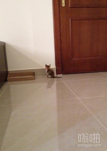我的三周大小猫以为我在外面要进来,在门口等我