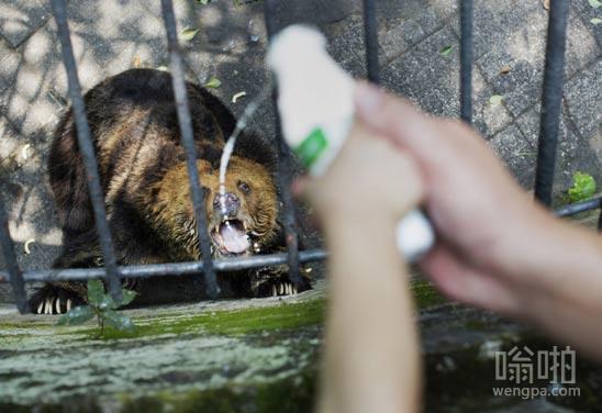 给熊喂奶,好配合的说
