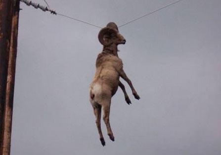 公羊角挂住电线杆 这货怎么上去的