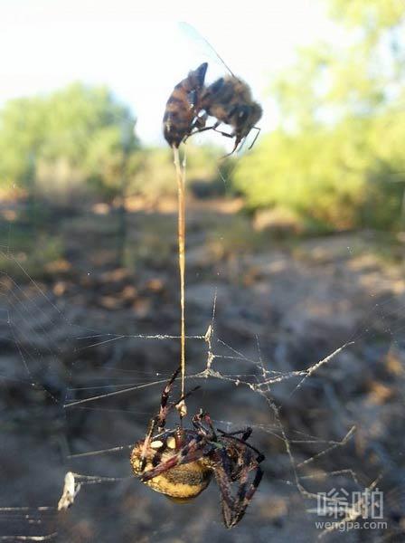同归于尽:蜘蛛捕捉蜜蜂,蜜蜂蜇伤蜘蛛。都死了,蜜蜂的毒刺依然在蜘蛛上。