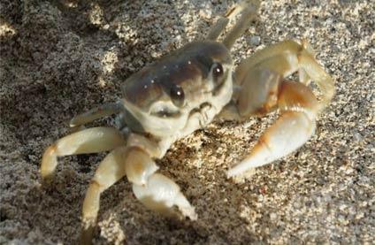 海边拍到一萌萌哒螃蟹