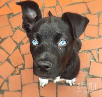 蓝眼睛小黑狗