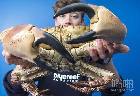 在英吉利海峡超过4千克的螃蟹爪子这么大,它可以随便夹断一个人的手腕