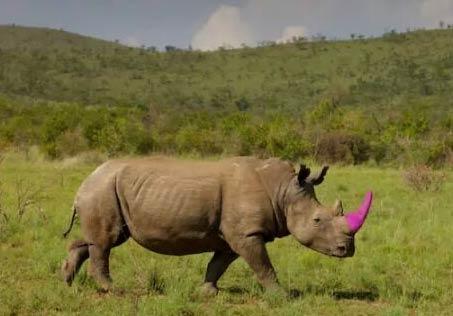 粉红色犀牛角