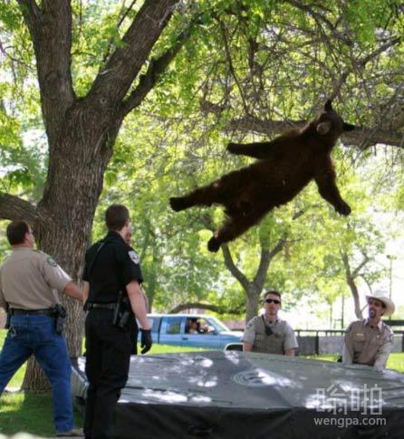 以为警察和这只黑熊在玩蹦蹦床呢,原来只是黑熊爬上这棵树,警察到场在树下铺好气垫,熊小弟很配合的落了下来,姿势不错。