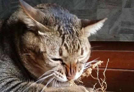 缅甸肥猫Charcoal 好想找这个小胖喵玩耍