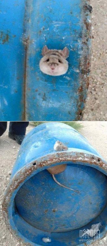 老鼠被卡煤气罐  老鼠比猫更会钻 这下被卡了吧