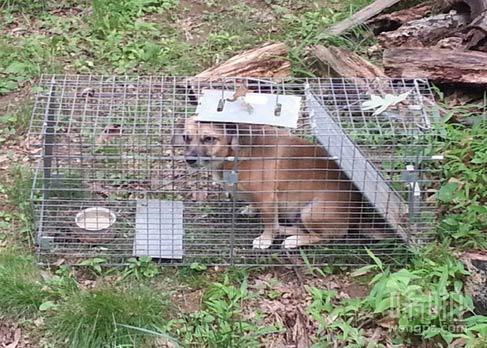 【狗狗搞笑图片】我的朋友在后院设下的陷阱捕捉臭鼬 结果她家的狗中招了 这货的表情很愤怒