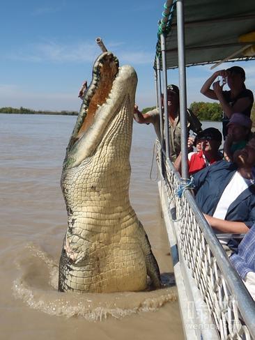 澳大利亚咸水鳄鱼