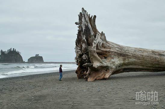 沙滩上的巨型红木漂流木