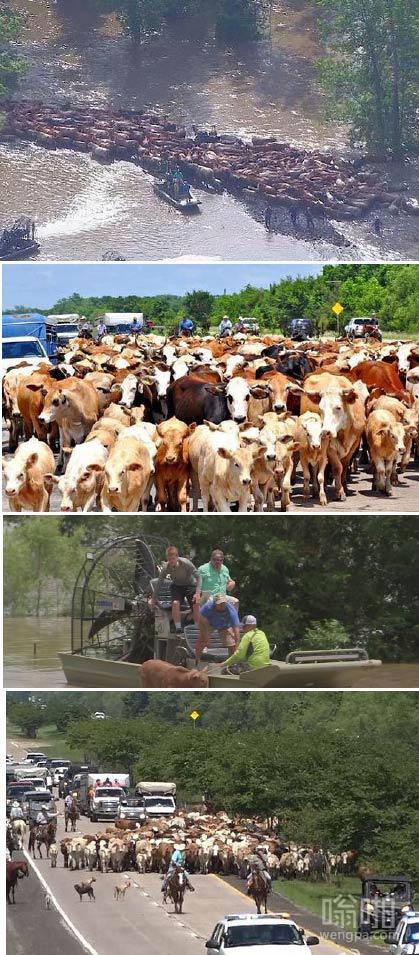 """德州style:美国德州发大水  老牛仔和警方赶着500多头牛""""胜利大逃亡"""""""