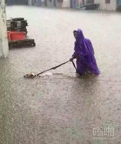 之前有一柴犬下雨拉着主人溜街。这只狗瘾更大,没看见水都到大腿了么