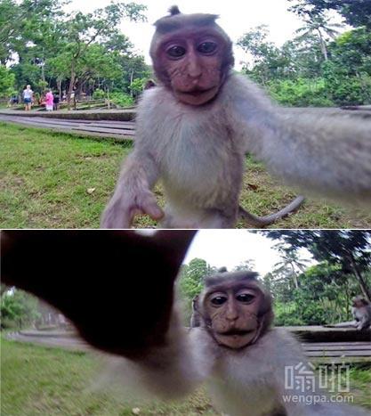 巴厘岛猴子抢游客相机自拍 据说比峨眉山的猴文明多了