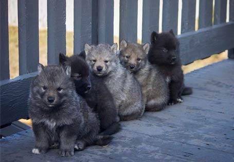 50%狼,50%阿拉斯加。100%可爱