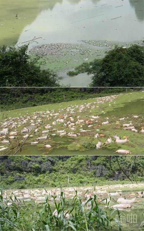 广西万余头死猪浸泡河中 场面壮观