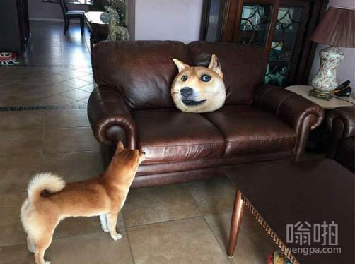 刚买了一个doge靠枕,家里的柴犬看懵了!