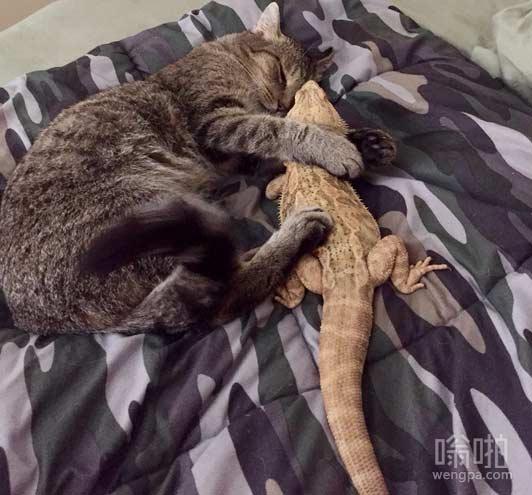 【猫搞笑图片】它们可能是一个奇怪的夫妇,但它们的爱情海誓山盟